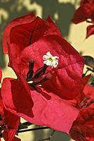 Flores. Primavera, buganvile ( Bougainvillea glabra). SP. Foto de Manuel Lourenço.