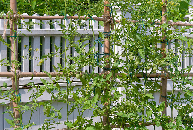 Trellised cherry tomatoes vegetable staked against white fence