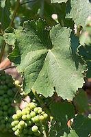 Grape bunch of the local grape variety Shesh. a vine leaf. Cobo winery, Poshnje, Berat. Albania, Balkan, Europe.