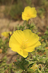 Israel, Sharon region, Evening primrose flowers at Hadera coast