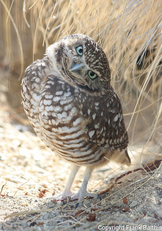 FB-S160  Burrowing Owl.  4x6 postcard
