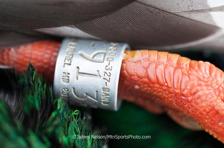 Leg band on a mallard shot during a waterfowl hunt.