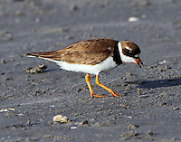 Adult male semipalmated plover in breeding plumage. It took the bird only a second to swallow the sand worm it found. I watched the bird find and eat several.