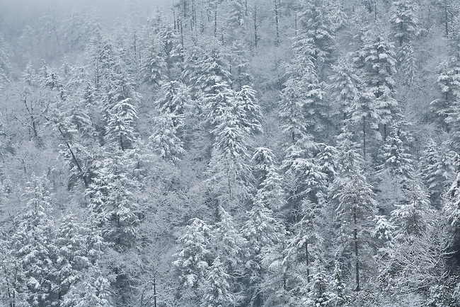 Winter snow and forest detail, Linville Gorge Wilderness