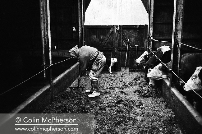 A monk working on the farm at Sancta Maria Abbey at Nunraw, East Lothian, home since 1946 to the Order of Cistercians of the Strict Observance. Around 15 monks were resident at Nunraw in 1996, undertaking a mixture of daily tasks and strict religious observance. The present purpose-built building dates from 1969 when the monks moved from the nearby Nunraw house.