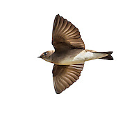 Northern Rough-winged Swallow - Stelgidopteryx serripennis - Adult