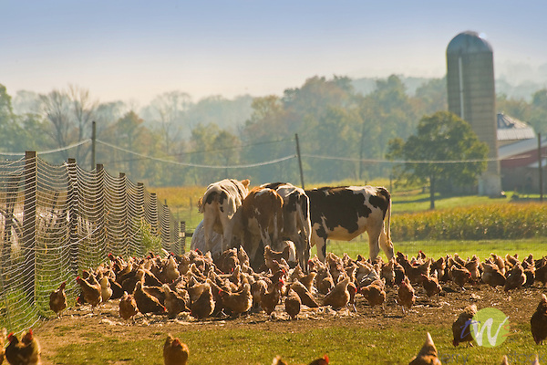 Free range chickens with cows.