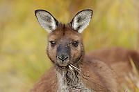 Western Grey Kangaroo (Macropus fuliginosus), adult eating grass, Australia