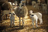 Europe/France/Midi-Pyrénées/46/Lot/Causse de Limogne/Baladou: Agneaux fermiers du Quercy de Thierry Lacroix (éleveur)