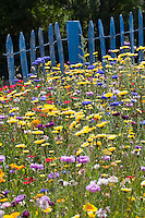 Blumenwiese, Gartenzaun, Zaun, Staketenzaun, Stakettenzaun, Lattenzaun, Holzzaun, Rollzaun, Beet, Blumenbeet, Wildkräuter-Wiese, Wildkräuter, bunte Vielfalt, mit Mohn, Kornblumen, Ringelblumen, Eschscholzia, Escholzia, Escholtzia, flowerbed, flower-bed, flower bed, flowery meadow, garden fence, fence, hash mark, hashmark, batten fence, lattice fence, lattice fencing, paling fence, Flower meadow, poppy, cornflower, bluebottle, marigold, calendula