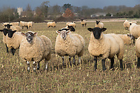 Hoggs on kale stubble<br /> &copy;Tim Scrivener Photographer 07850 303986<br /> ....Covering Agriculture In The UK....