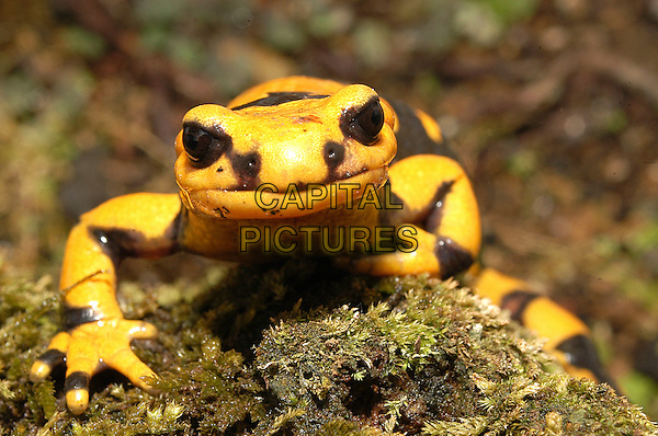 PEZZATA SALAMANDER.Italy.amphibian newt animal animal nature wildlife yellow black pattern fauna salamandridi.CAP/CAV.©Luca Cavallari/Capital Pictures.