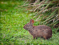 Marsh Rabbit sitting in the grass in Green Cay Wetlands, Florida