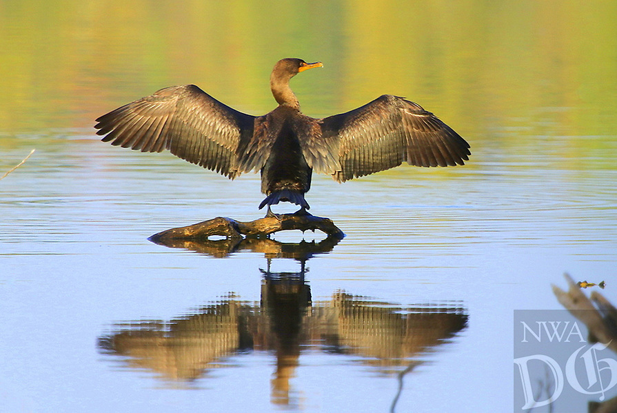 Courtesy photo/PHYLLIS KANE<br />SHOWY FEATHERS<br />A cormorant spreads its wings at Lake Fayetteville. Phyllis Kane of Fayetteville took the picture Oct. 13.