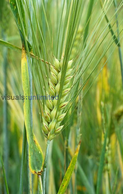 Barley ,Hordeum vulgare,.