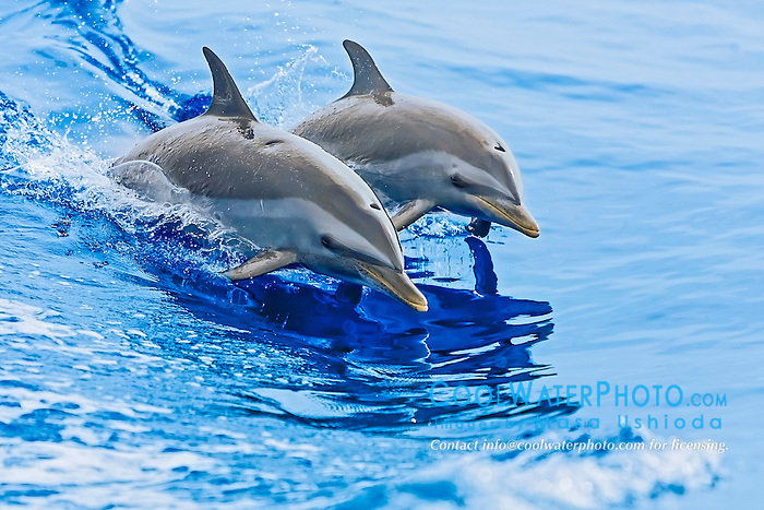 pantropical spotted dolphins, Stenella attenuata, mother and calf, wake-riding or jumping off boat wake, Kona Coast, Big Island, Hawaii, USA, Pacific Ocean