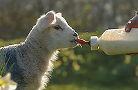 Orphan lamb drinking from a milk bottle, Chipping, Lancashire.