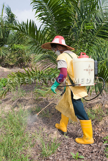 A worker, from Lombok, Indonesia, spraying glyphosate herbicide around young palm trees once a month to keep vegetation away. The chemicals have already been diluted to avoid toxic spills in the fields. The Sindora Palm Oil Plantation, owned by Kulim, is green certified by the Roundtable on Sustainable Palm Oil (RSPO) for its environmental, economic, and socially sustainable practices. Johor Bahru, Malaysia