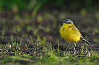 Yellow wagtail, Motacilla flava, Nemunas River Delta, Lithuania
