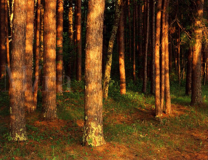 MN31B109 Red Pine tree trunks, MN. St. Croix State Park, Minnesota.