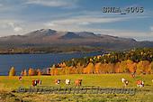 Carl, LANDSCAPES, LANDSCHAFTEN, PAISAJES, photos,++àreskutan  Kallsj+Ân J+ñmtland Sweden,++++,SWLA4005,#L# cows,autumn