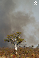 Solitary tree and smoke from fire in dry savannah (Licence this image exclusively with Getty: http://www.gettyimages.com/detail/73532524 )
