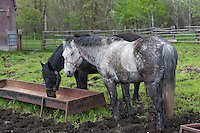 Percheron horses are seen on a farm in Saint-Laurent, Manitoba Monday May 23, 2011. The Percheron is a breed of draft horses that originated in the Perche valley in northern France.