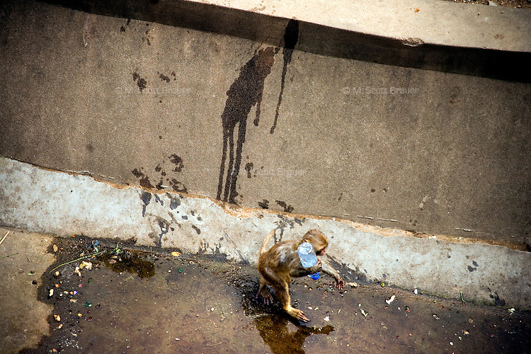 A macaque monkey plays with a plastic water bottle thrown into the monkey pit by a visitor to the Qingdao Zoo in Qingdao, Shandong, China.