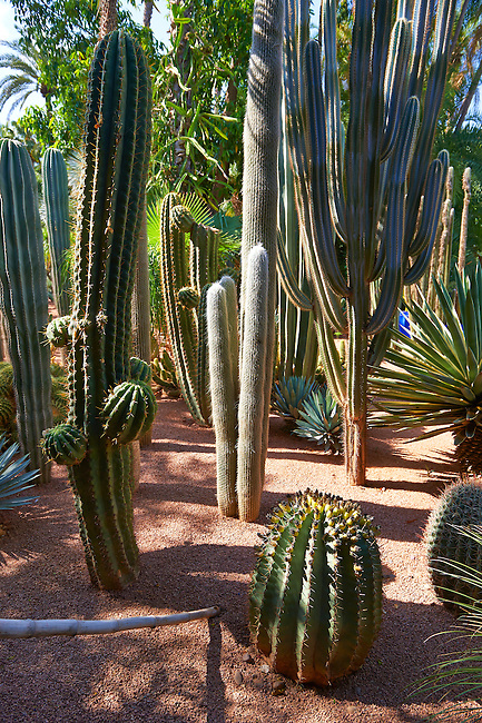 Catus in The Majorelle Garden botanical garden designed by French artist Jacques Majorelle in the 1920s and 1930s, Marrakech, Morocco