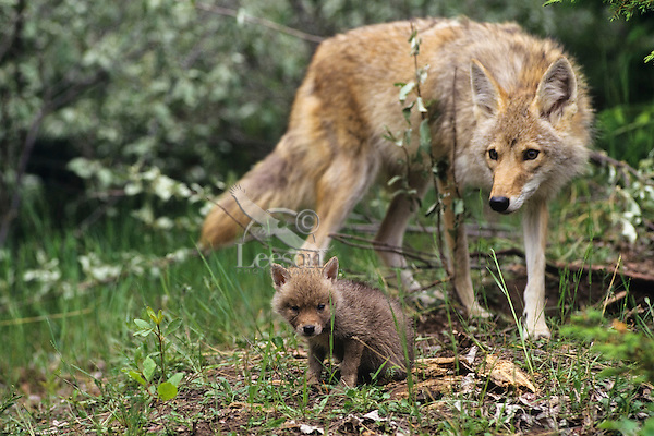 Coyote mother with young pup (Canis Latrans).  Den is a few feet out of the photo on the left.