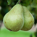 Pear 'Beurre Six', early September.