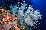 East Indonesia, Raja Ampat, black coral outcrop