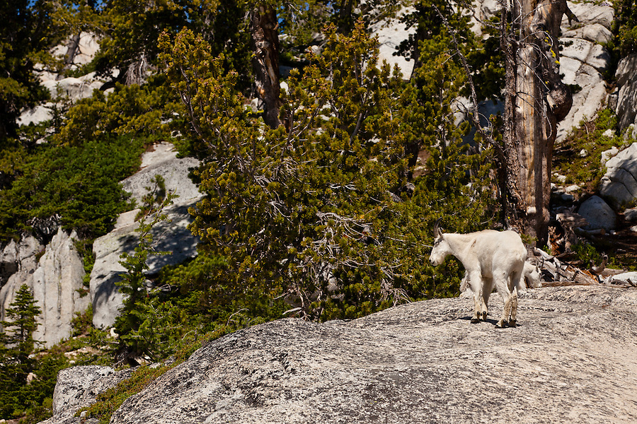 A lone mountain goat stands atop a rock in Washington's Enchantment Lakes area.