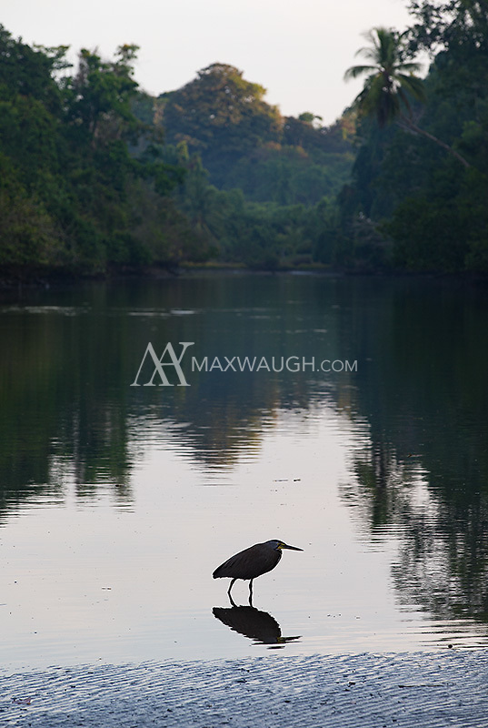 A tiger heron hunts in the shallows of the Rio Sirena at dawn.