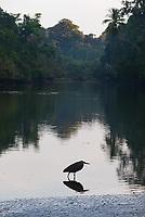 A tiger heron hunts in the shallows of the Rio Sirena at dawn.