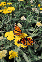 Two monarch butterflies on yellow Achillea in butterfly enclosure at exhibit at Woodland Park Zoo, Seattle, WA. Butterfly. Insect. Seattle Washington, Woodland Park Zoo.