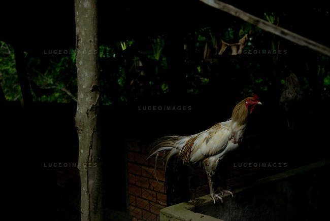 A rooster sits in a village outside of Can Tho, Vietnam.