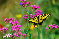 Western tiger swallowtail (Papilio rutulus) butterfly, Male, Summer.   Pacific Northwest.