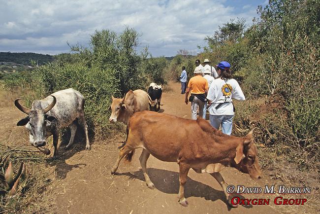 Earthwatchers Walking Alongside Cattle