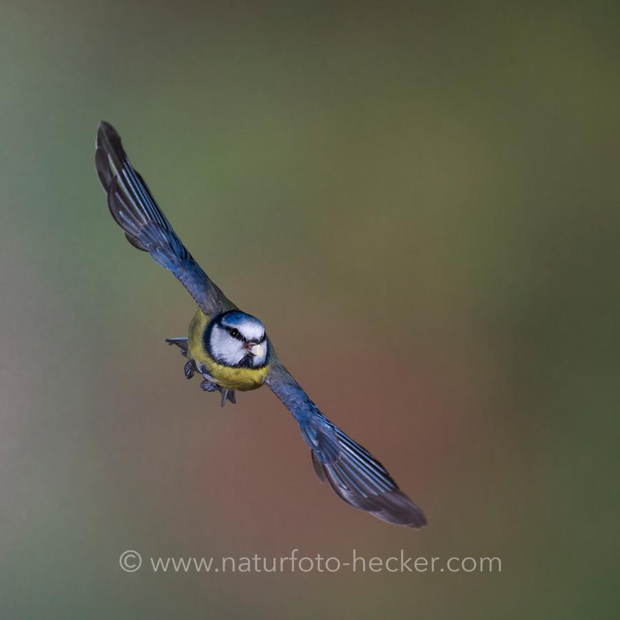 Blaumeise, Flug, Flugbild, fliegend, mit Vogelfutter im Schnabel, Blau-Meise, Meise, Meisen, Cyanistes caeruleus, Parus caeruleus, blue tit, flight, flying, La Mésange bleue