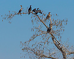 Double Crested Cormorants, Phalacrocorax auritus, perched in a tree in the Atchafalaya Basin in south Louisiana, USA.  The all-black birds are adults, while the lighter-colored birds are juveniles.