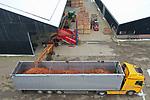 Foto: VidiPhoto<br /> <br /> HEMMEN &ndash; Ruim 320 ton aan winterpeen rolt donderdag over de lopende band in de laadruimte van gereedstaande vrachtwagens. De in oktober geoogste biologische wortels van Ekoboerderij De Lingehof in het Betuwse Hemmen, gaan na een verblijf van drie maanden in koelcellen op weg naar het Belgische Geer, bestemd voor de industrie. Superwortels zijn het, volgens eigenaar Andr&eacute; Jurrius. Waar veel agrari&euml;rs klaagden over tegenvallende oogsten, kon de biologisch akkerbouwer voldoende beregenen, met een prima oogst van 80 ton per hectare. Hoewel de vraag naar hutspotwortels op dit moment ook toeneemt, gaat deze hoge kwaliteit winterpenen in de biologische babyvoeding.