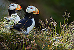 Horned puffins, Lake Clark National Park, Alaska, USA