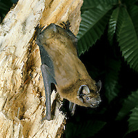 Noctule Nyctalus noctula Wingspan 35-45cm Our largest bat. Adult has rather short fur, golden brown overall, darkest on back and paler below. Face is blackish brown. Ears are dark, large and broadly oval to triangular; tragus is mushroom-shaped. Wings are long and narrow. Utters loud clicks in flight and yickering calls at roosts. Echolocates in 20-45kHz range. Widespread. Favours marshes, meadows, woodland clearings and mature suburban gardens. Leaves roost at dusk and feed throughout night. Roosts in tree holes and bat boxes in summer, hibernates in deep tree holes.