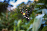 Hawaiian Garden Spider (argiope appensa) in the center of its suspended web, Maui
