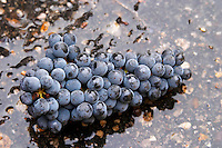 Harvested grapes. Cabernet Franc. Chateau Reignac, Bordeaux, France