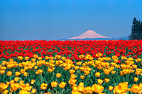 Tulip field and Mount Hood. Oregon United States Willamette Valley.