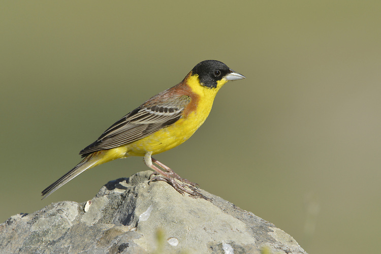 Black-headed Bunting - Emberiza melanocephala - Adult Male