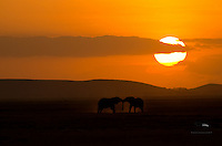 Two elephants tussle in the dust at sunset, Amboseli National Park, Kenya.