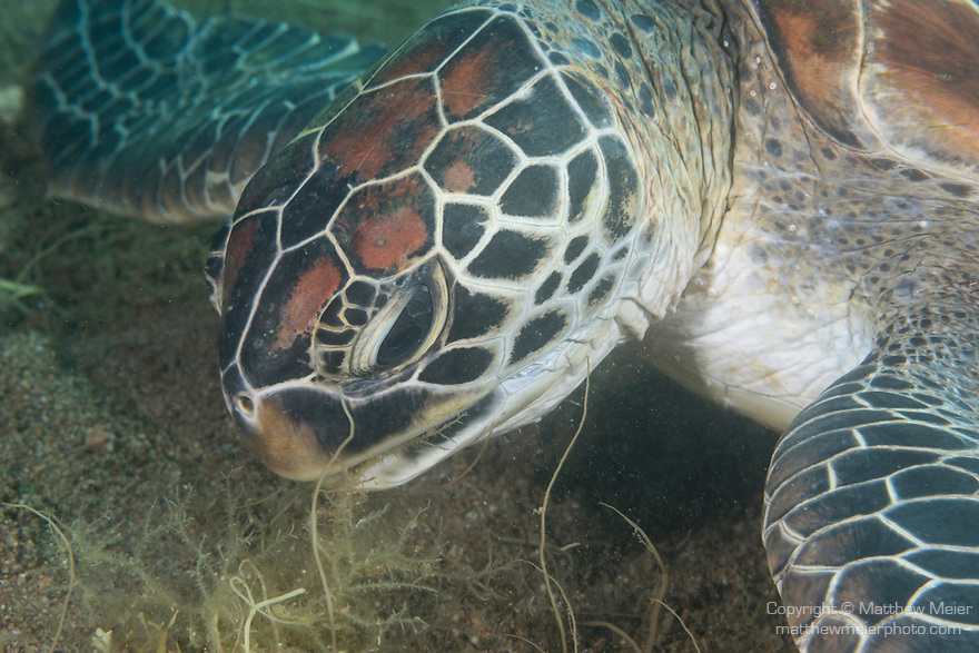 Dumaguete, Dauin, Negros Oriental, Philippines; a green sea turtle feeding on sea grass